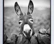 E533126 177x142 - Donkey Print