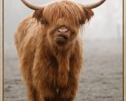 HF6674 177x142 - Framed Scottish Highland Cow Print