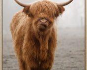 HF6674 177x142 - Framed Scottish Highland Cow Print