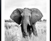 ELEPHANT 177x142 - Elephant Print