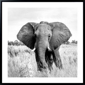 ELEPHANT 300x300 - Elephant Print