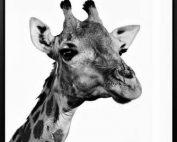 Giraffe 177x142 - Giraffe Print