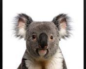 Koala 177x142 - Koala Print