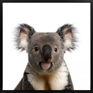 Koala 300x300 - Koala Print